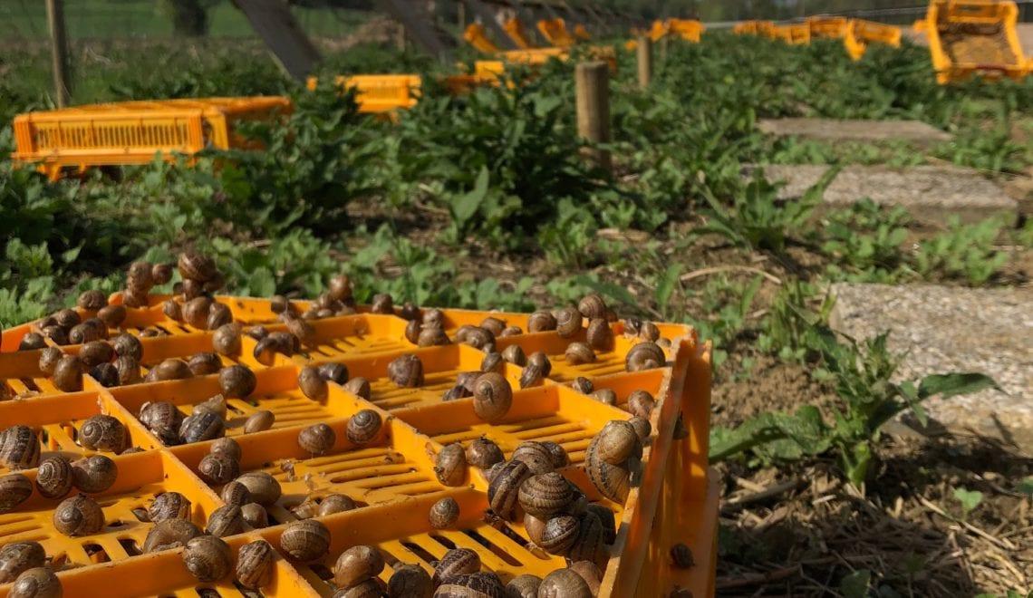 Moschnäk heißt die köstliche Schnecke von der Bio-Wiese