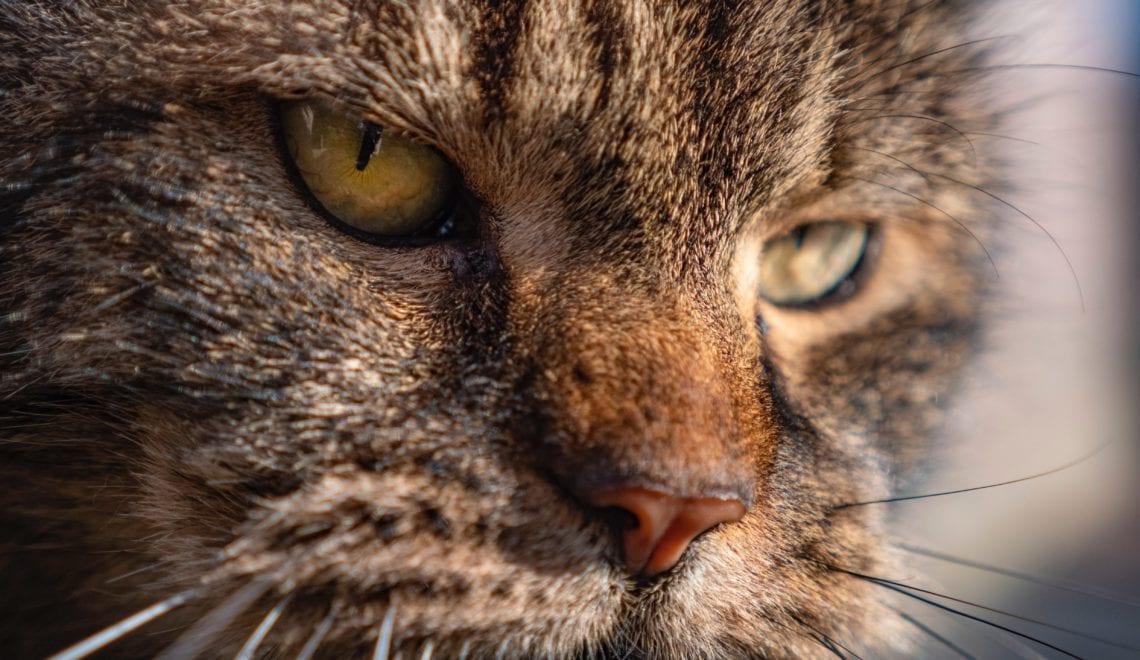 Steiermark – Die Wildkatze ist zurück